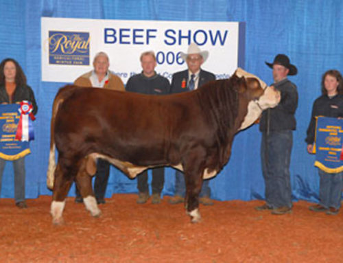 Royal record for the sale of a Grand Champion bull