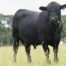 Angus bull - 2 years