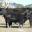 Cow and 2018 Fleckvieh/Angus Spring Calf