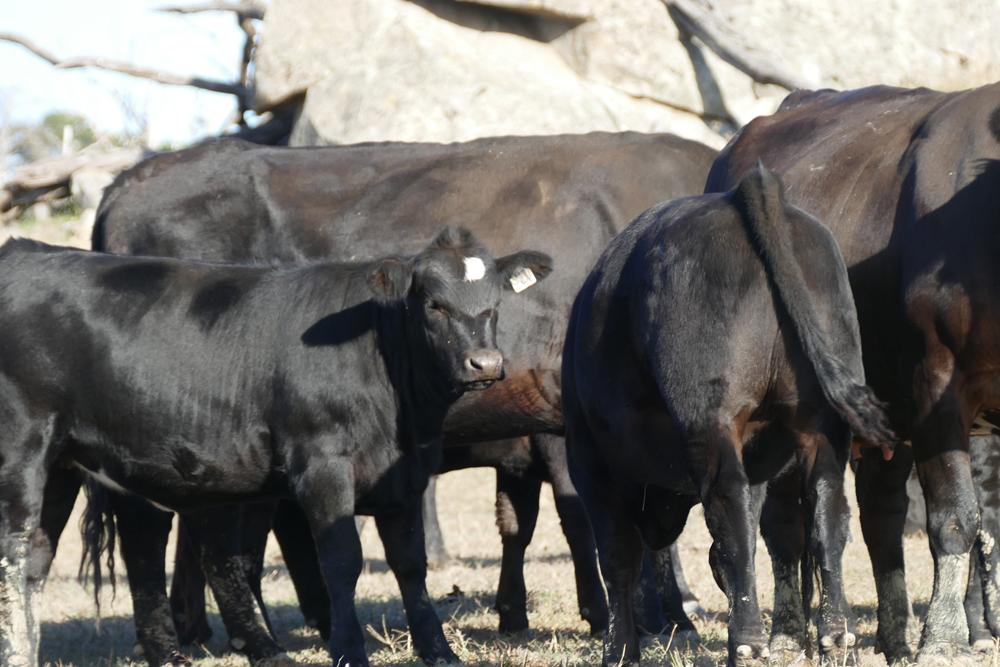 Cows & 2018 drop Fleckvieh/Angus Spring Calves